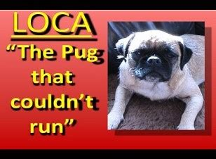 the pug who can t run animals archives page 7 of 11 some pets