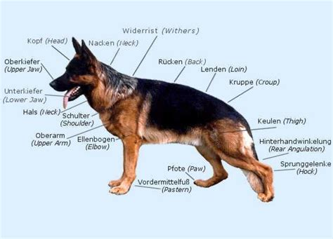 german shepherd puppy growth chart german shepherd growth chart weight german shepherd growth chart breeds picture