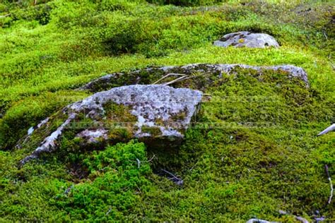 Scientific Name For Carpet Moss by Nova Scotia Hiking Trails 10 Forest Pictures