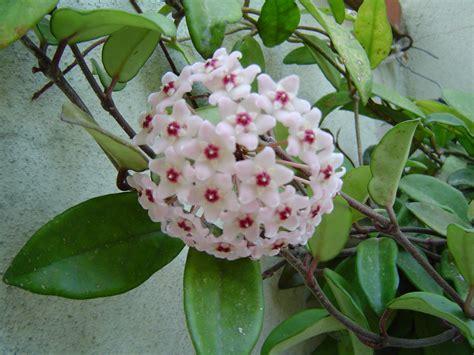 co fiore hoya carnosa astrogiardino