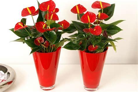 come curare piante da appartamento anthurium piante da interno come curare l anthurium