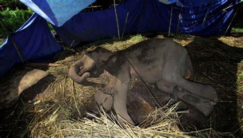 Terpal Gajah Dunia kisah pilu yani gajah sekarat di kebun binatang bandung