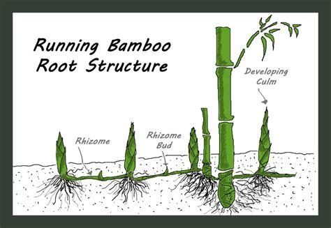 plant structure bamboo  unique  versatile plant