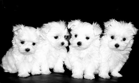 maltese puppys maltese tlc puppy