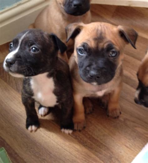 staffy puppies for sale staffordshire bull terrier puppies for sale breeds picture