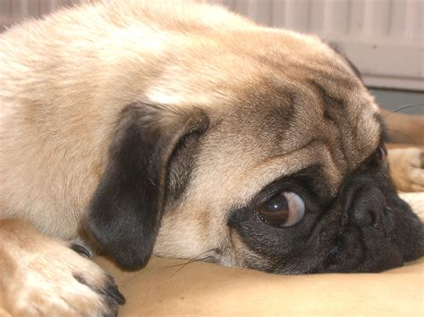 about pugs as pets pug all pet news