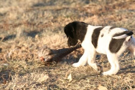 lab puppies for sale in south dakota lab shorthair cross puppy for sale in south dakota breeds picture