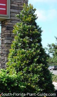 Nice Where Can I Buy Christmas Trees #7: Japanese-blueberry.jpg