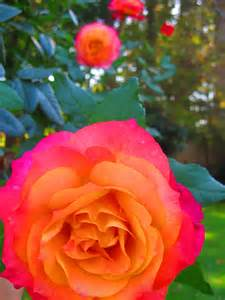 multi colored roses beautiful multi colored roses