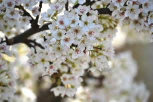 pretty flowering trees photograph by p s