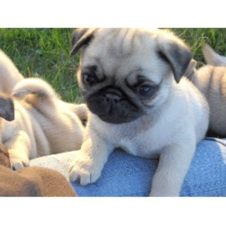 pugs for sale in maine pug puppies for sale maine breeds picture