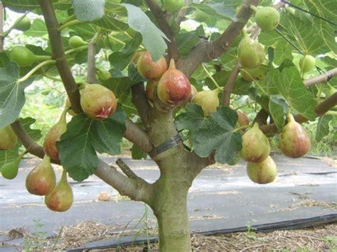 Bibit Pohon Buah Naga cara merawat pohon tin agar cepat berbuah bibitbunga