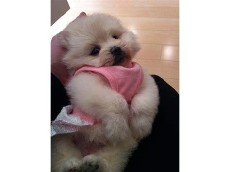 sheshan teddy bear puppies teacup pomeranian puppy cute puppies pinterest