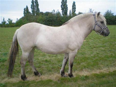 fjord horse facts fjordheste klip o diverse hest uploadet af team s 248 rup