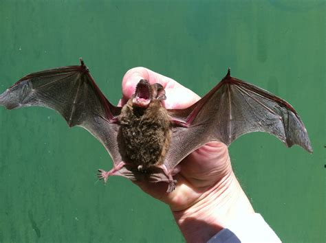 bat in the house local veteran owned bat control how to get rid of bats
