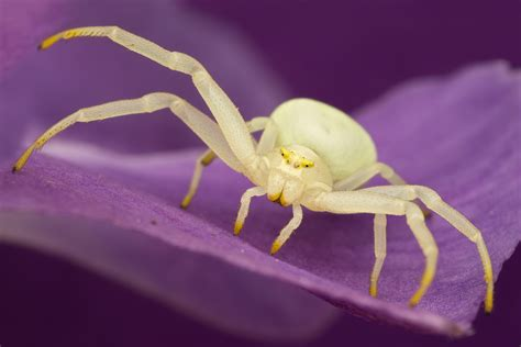 Mouse Macro Spider matt cole macro photography crab spiders