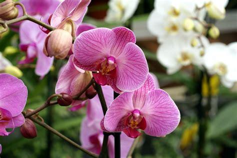 pink orchids doritaenopsis sweet