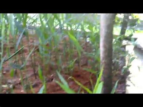 Bibit Jahe Merah Jakarta cara budidaya tanaman dengan pola hcs doovi