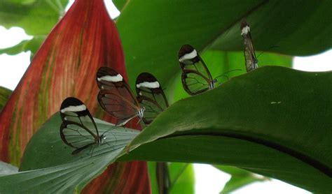 Butterfly Set By Ori Naura gorgeous glasswing butterflies 42 stunning photos