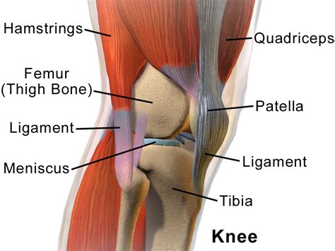 lower leg anatomy muscles and tendons b muscles b and tendons