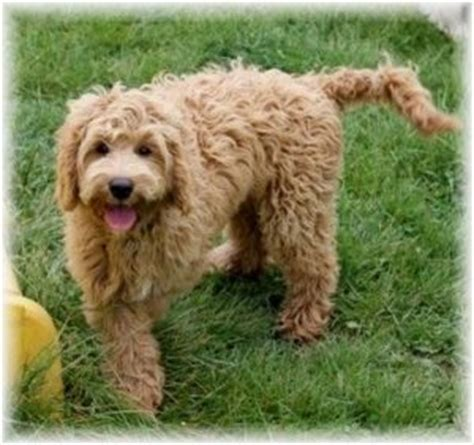doodle dogs indiana labradoodle puppies service dogs for sale in indiana