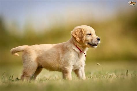 best looking golden retriever 50 most adorable golden retriever and puppies gallery