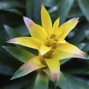 Incroyable Plante D Interieur Toxique #2: guzmania-fleur-feuille