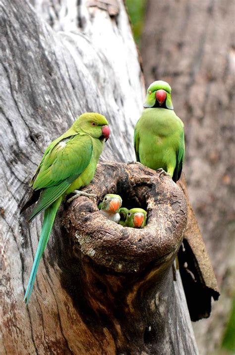 Parrot L by Une Famille De Perruche Dans Un Arbre 224 Colombo Au Sri
