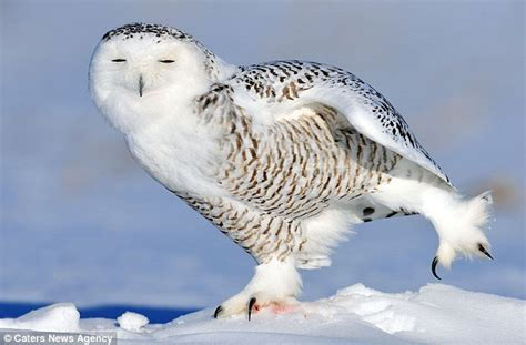 dancing on ice snowy owl left with a big smile on his