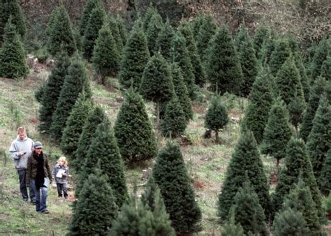 chuck hafners christmas trees farm wallpaper wallpapersafari
