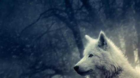 imagenes lobo blanco lobo blanco 1366x768 fondos de pantalla y wallpapers