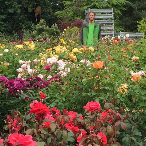 caring  roses   pacific northwest swansons