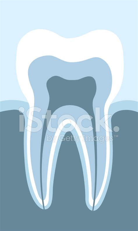 tooth cross section acurately tooth cross section stock photos freeimages com