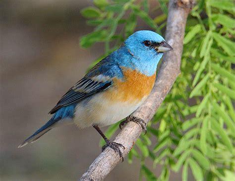 lazuli bunting passerina amoena 187 planet of birds