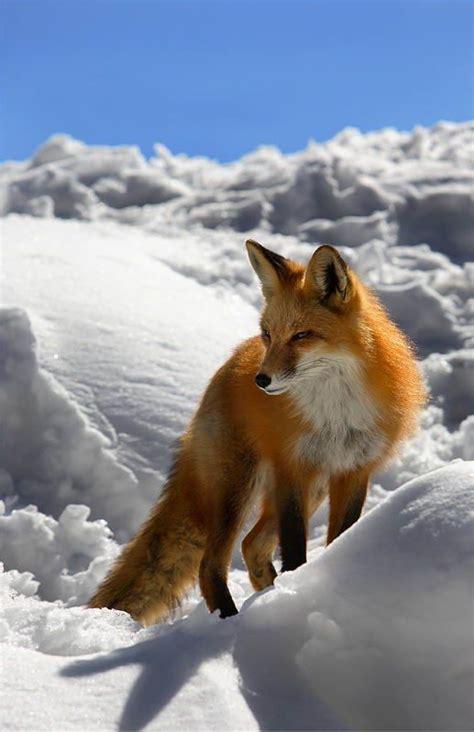 imagenes de animales fusionados vossen plaatje 187 animaatjes nl