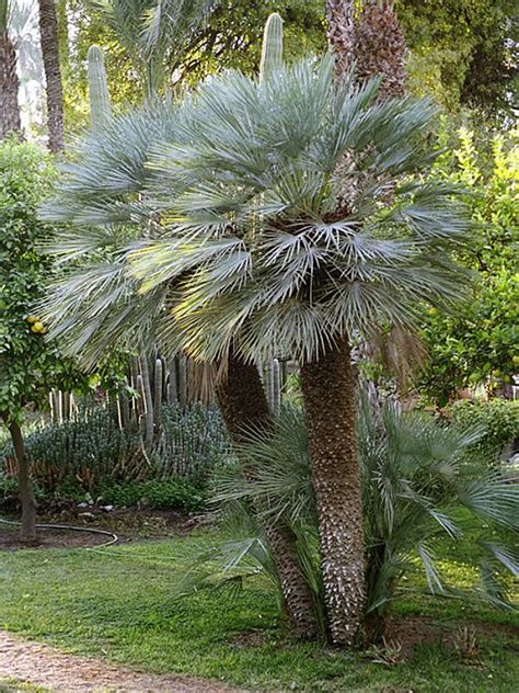Indoor Trees Low Light by Plants Amp Flowers 187 Chamaerops Humilis