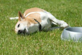 symptoms of stroke in dogs stroke symptoms of a sick heat stroke in dogs sick symptoms