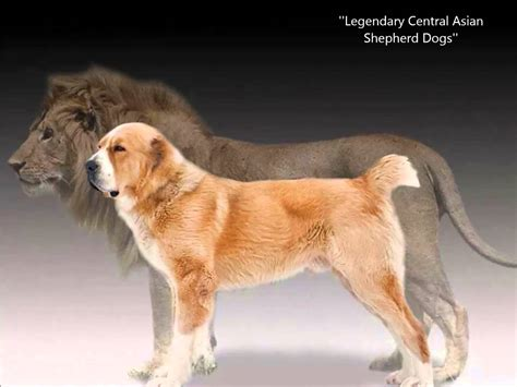central asian shepherd central asian shepherd dogs