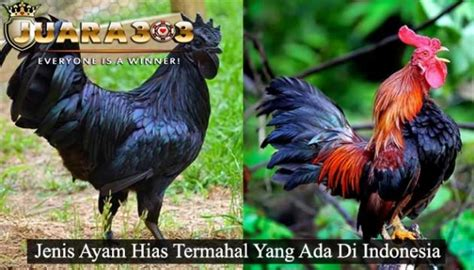 Promo Pelung ayam pelung archives