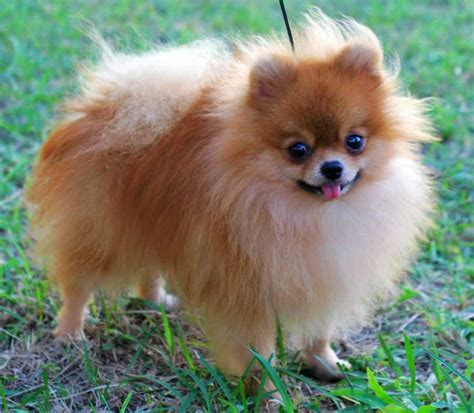 found pomeranian pomeranian puppies brown