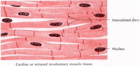 striated cell diagram quot cardiac or striated involuntary tissue quot rugs