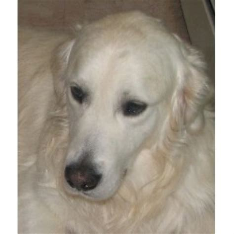 golden retriever breeders in maine goldenridge kennels golden retriever breeder in hden maine listing id 16416