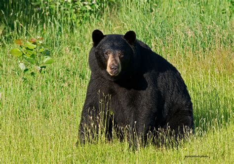north american bear center why people fear bears why do people fear bears wise about bears