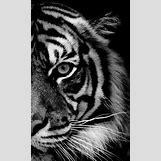 Half Lion Half Tiger Art | 307 x 500 jpeg 36kB