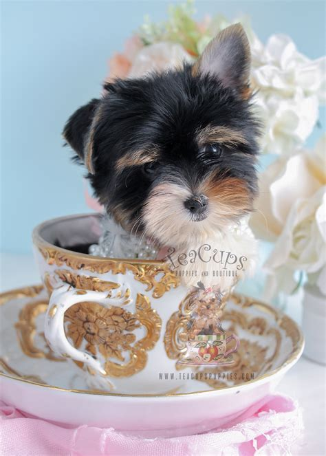 teacup yorkie puppies for sale in chicago il shih tzu puppy for sale at teacups south fl at breeds picture