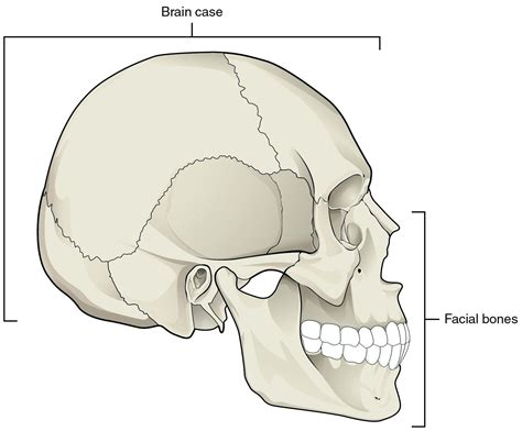Skull Lateral View Diagram
