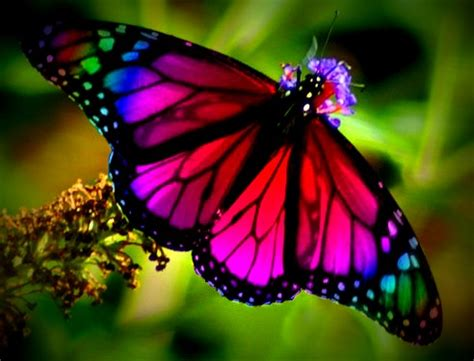 rainbow butterfly – awesome pictures
