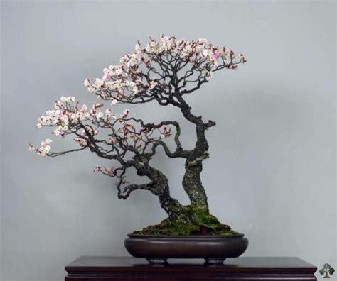 a cherry tree bonsai top 10 flowering bonsai trees bonsai empire