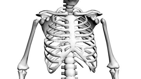 rotation   skeletonribschestanatomyhumanmedical