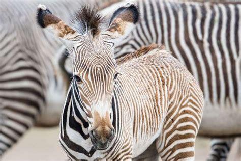 berlin zoo 2014 berlin germany a zebra foal in berlin s tierpark zoo